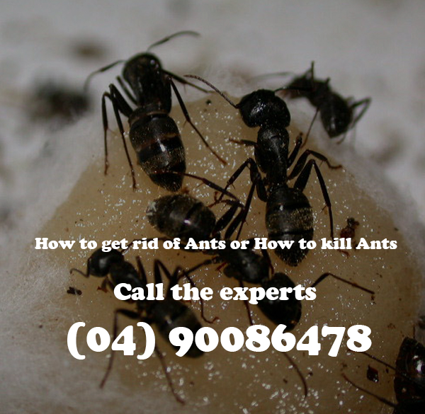 Bed bugs removal perth